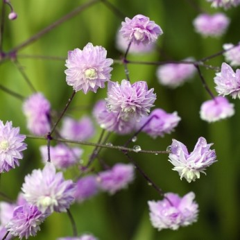 Thalictrum (Meadow Rue) delavayi Hewitts Double AGM