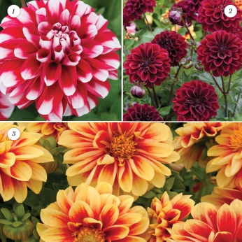 Dahlia Dalaya Collection