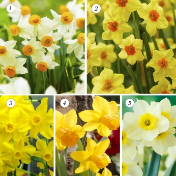 Collection Dwarf Narcissus