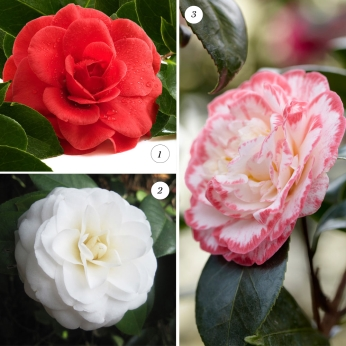 Collection Award-Winning Camellia Collection (AGM)