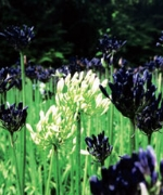 Agapanthus Inapertus Subsp Pendulus Black Magic
