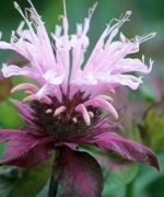 Monarda Suger Buzz Collection
